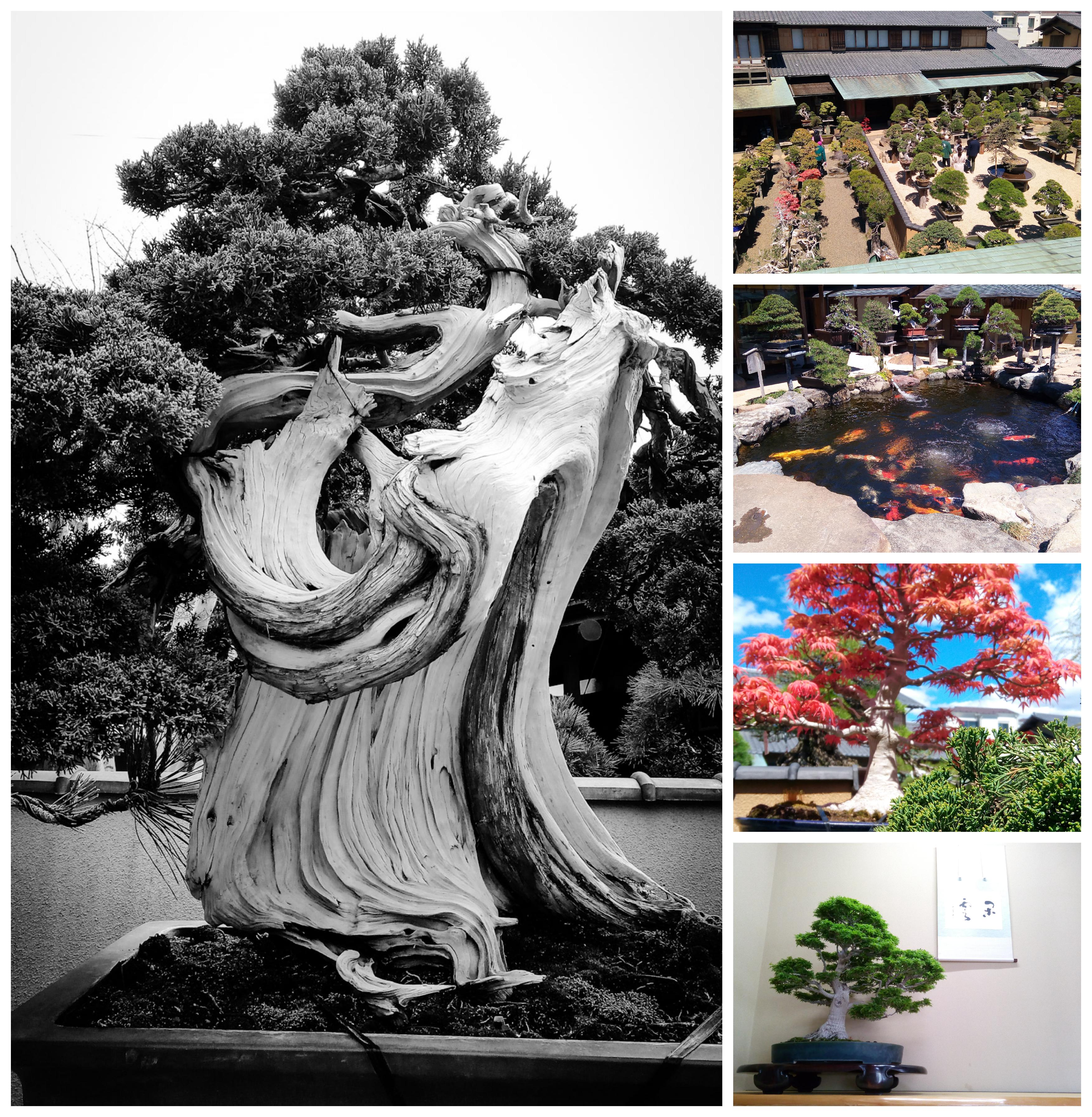 Urban Photos - Edogawa City, Tokyo, Japan. 'Shunka-en Bonsai Museum.' Funded by Bonsai Master Kunio Kobayashi (four times recipient of the Prime Ministers Award - the most prestigious award in Japan), the Museum is delight to the eyes - a beautiful bonsai garden, with a forest of stunning bonsai tress, and even a tranquil koi carp pond. The staff are more than happy to guide you through the garden and facilities, passing on amazing information about the ancient trees and the craft. They also run a bonsai school on site, with apprentices coming from all over the world. sketchbookexplorer.com @davidasutton @sketchbookexplorer Facebook.com/davidanthonysutton #japan #tokyo #edogawa #shunkaenbonsaimuseum #travel #travelblog #photography #cheeryblossom #cherryblossomseason