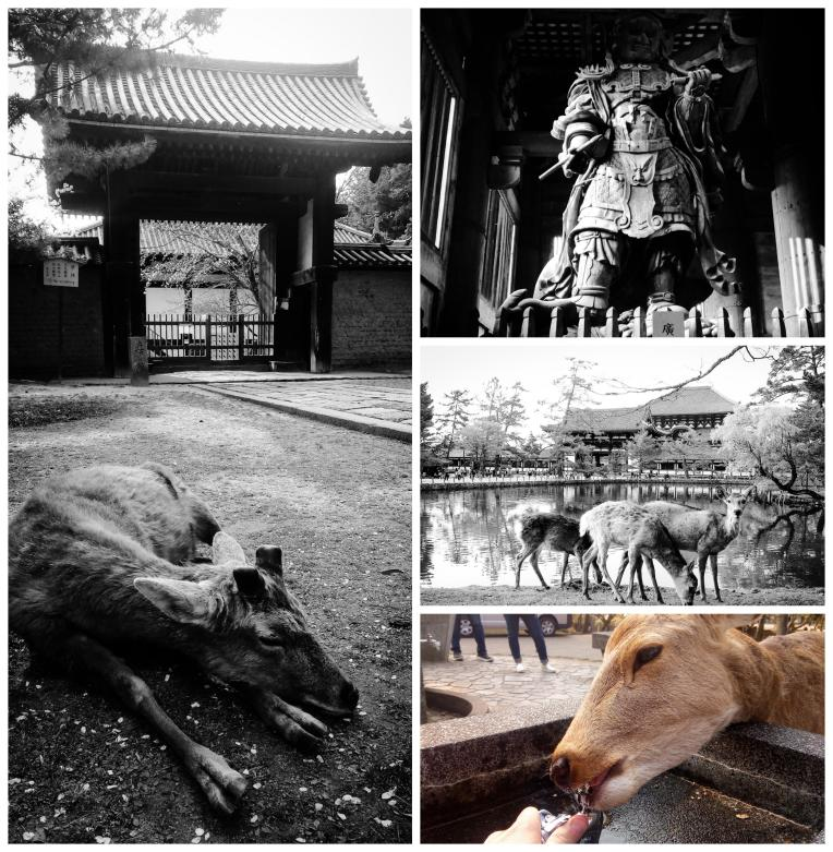 Urban photos - Zoshicho, Nara, Japan. 'Nara Park and Todaiji Temple.' The Todaiji temple is home to the world's largest bronze statue of Buddha (15 meters tall seated Buddha). The temple's history can be traced back to 738. Stories tell of the temple being built by Emperor Shomu, to honor the short and troubled life of his first son 'Prince Motoi.' The main complex building 'Great Buddha hall' is massive, but surprisingly the original building was even larger. The temple is also a UNESCO World Heritage Site. Nara Park sits adjacent to the temple complex. It is home to over 1,200 wild sika deer (once considered sacred, now demoted to national treasures), who are extremely friendly, and constantly seeking the food from tourists (in recent years there has been a large increase in visitors being injured by deers, while feeding them. They are after all still wild animals). sketchbookexplorer.com @davidasutton @sketchbookexplorer Facebook.com/davidanthonysutton #japan #nara #zoshicho #narapark #todaijitemple #travel #travelblog #photography #cheeryblossom #cherryblossomseason