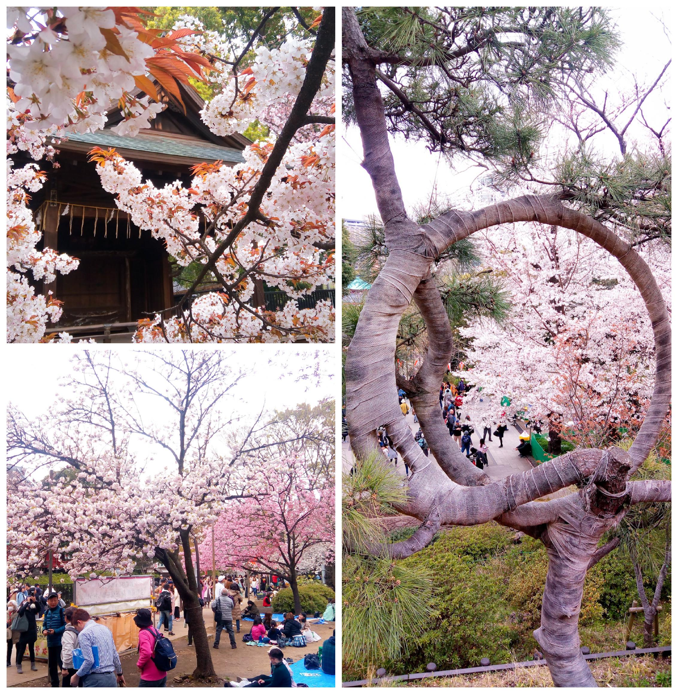 Urban Photos - Taito, Tokyo, Japan. 'Ueno Park.' Home to Ueno Zoo, the Tokyo National Museum, the National Museum of Western art, and the Ueno Tosh-gu Shrine, this Park is renowned for its cherry blossom, and is a magnate for Hanami parties during Sakura season. Most of the park's original buildings were destroyed in 1868, when over 600 years of shogun rule finally came to an end, and the Emperor retook power, during Boshin war (Meiji Restoration). After the destruction, it was, in fact, a Dutch doctor 'Anthonius Bauduin' who lobbied for the site to become a park. sketchbookexplorer.com @davidasutton @sketchbookexplorer Facebook.com/davidanthonysutton #japan #tokyo #taito #uenopark #travel #travelblog #photography #cheeryblossom #cherryblossomseason #cherryblossomjapan