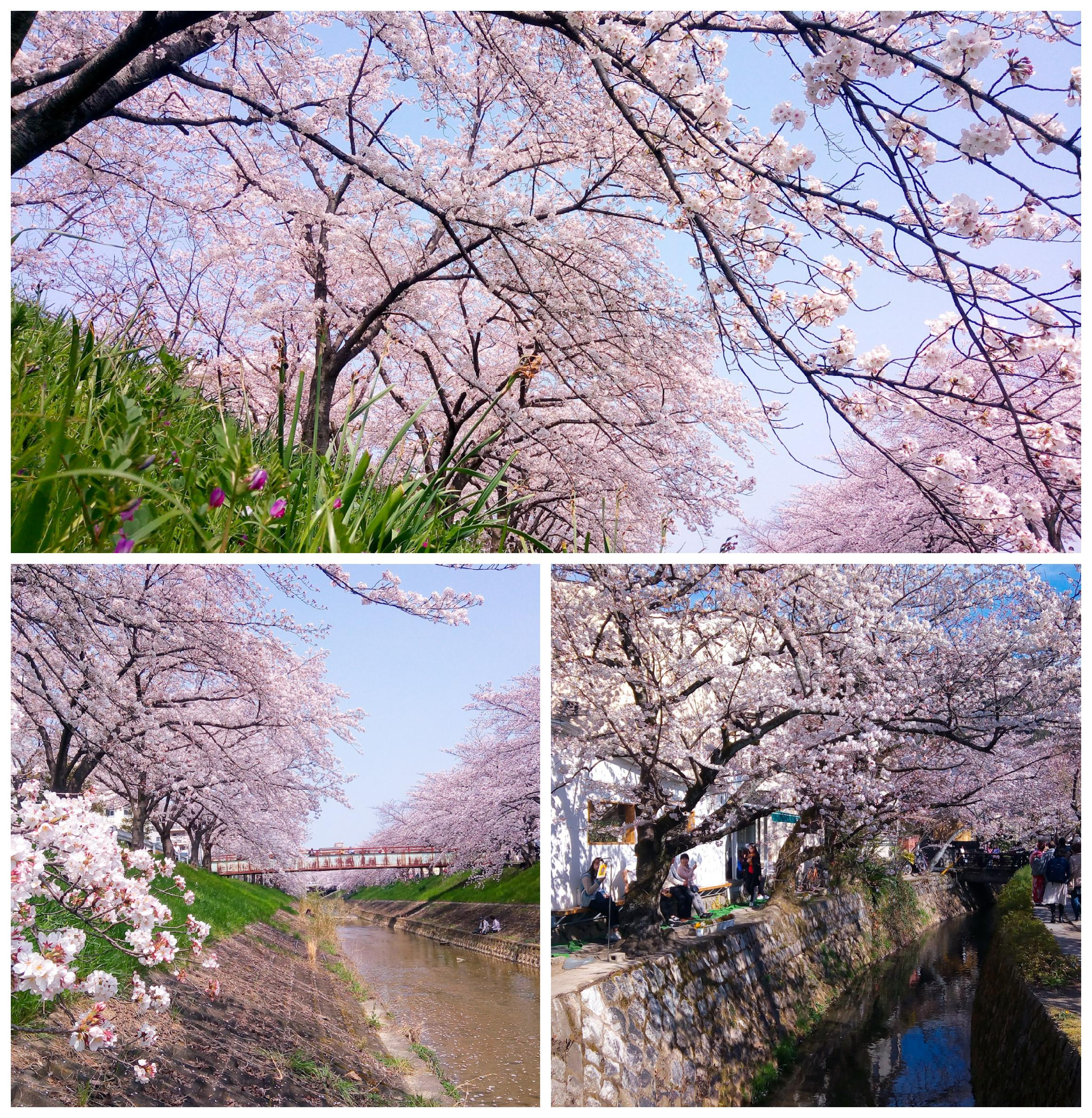 Urban photos - Kyoto and Nara, Japan.'Blossoming Japan.' Found theses beautiful flourishes of cheery blossom while walking around Kyoto and Nara. Many times the locals were either taking selfies under the vibrant canopies, while dress in tradition kimonos, or they were holding Hanami parties 'cherry blossom picnics.' sketchbookexplorer.com @davidasutton @sketchbookexplorer Facebook.com/davidanthonysutton #japan #nara #kyoto #travel #travelblog #photography #cheeryblossom #cherryblossomseason