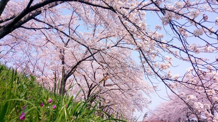 Urban photos – Kyuseki Teien, Nara, Japan. 'River bank cherry blossom.' Complete image from my latest travel art blog article 'Sakura Japan.' Now online - sketchbookexplorer.com @davidasutton @sketchbookexplorer Facebook.com/davidanthonysutton #photography #japan #nara #sakura #nature #spring #travel #travelblog #cherryblossom #cherryblossomseason #cherryblossomjapan